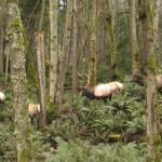 Roosevelt Elk in Timber